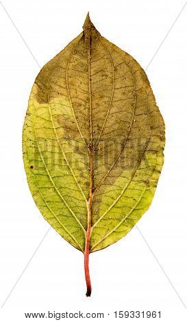 Close-up Photograph Of A Withering Autumnal Leaf Isolated On White Background