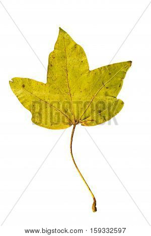 Close-up Photograph Of A Withering Autumnal Fig Tree Leaves Isolated On White Background