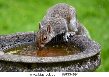 A thirsty Grey Squirrel sneaks a cheeky drink from a garden birdbath in Durham UK