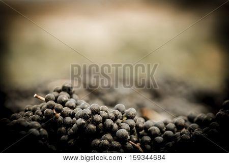 Grapes Wine Harvest, Bordeaux Vinyard, France