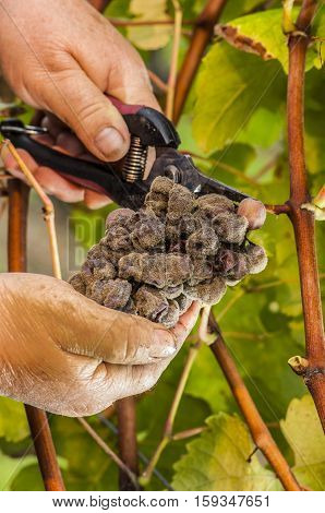 Noble Rot Wine Grape, Grapes With Mold, Botrytis, Sauternes