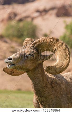 a close up of a desert bighorn sheep ram in the rut