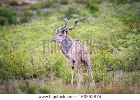 Male Kudu In The Grass.