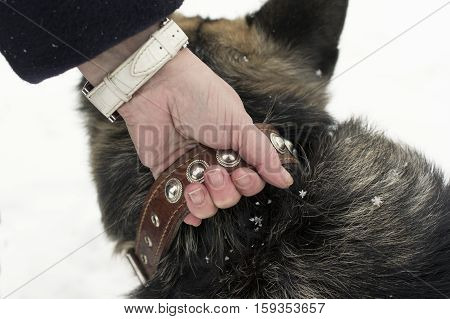 Female hand holding a shepherd dog collar seems aggressive cold weather closeup shot