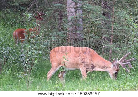 Two mule deer that eat pastures. Banff, Canada.