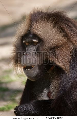 Gelada baboon (Theropithecus gelada), also known as the bleeding-heart monkey.