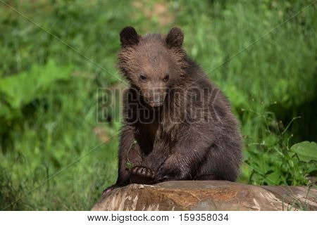 Newborn Kamchatka brown bear (Ursus arctos beringianus), also known as the Far Eastern brown bear.