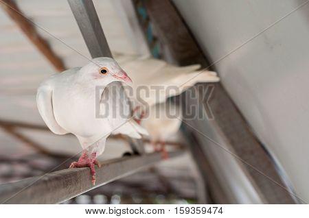Beautiful white dove sitting in the attic