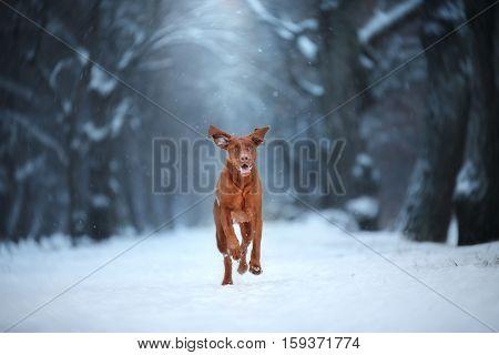 blue color winter landscape Vizsla breed dog