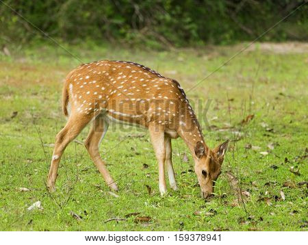 Young chital deer on the pasture - Axis axis