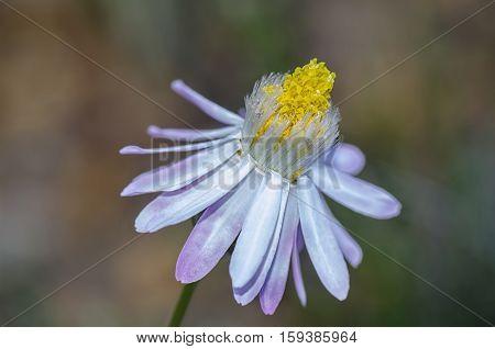 Paper Daisy, Everlastings, Poached-egg Daisy , Waitzia acuminata var. albicans, Western Australian Wildflowers