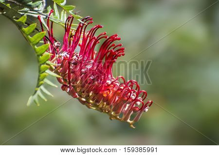 Beautiful red Grevillea, Australia native flower .