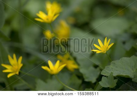 Lesser Celandine (Ranunculus ficaria) group flowering in an Arboretum