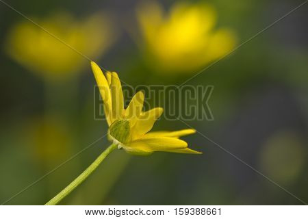 Lesser Celandine (Ranunculus ficaria) closeup from one flower