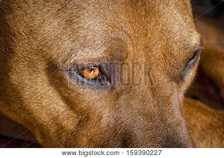 Close up of a American Staffordshire Terrier dog