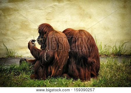Two very cute Orangutans close together cuddling