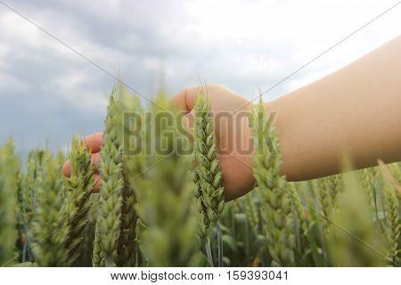 Woman Hand Touching Wheat Ear In Wheat Field