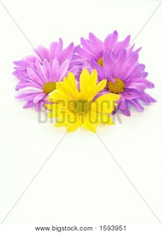 Purple & Yellow Daisies