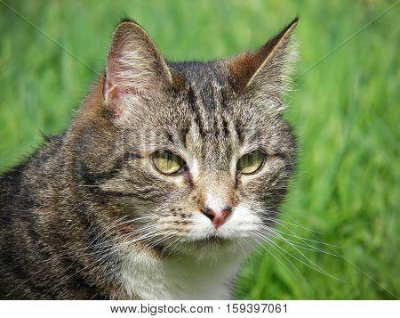 A portrait of a tabby cat against a green foliage. Nov 2016