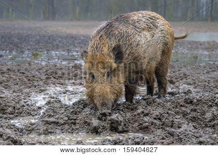 Feeding Wild Boar