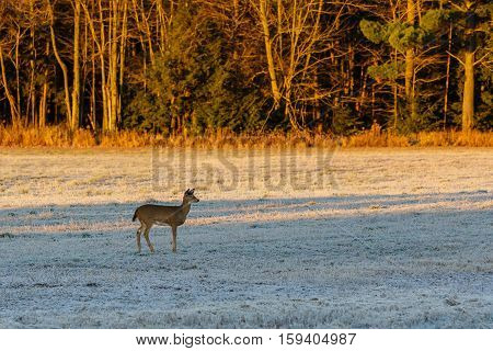 Small white-tailed fawn deer standing at attention in a field.