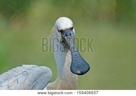 Spoonbill Bird Portrait - Platalea Leucorodia shot at Kolkata West Bengal India