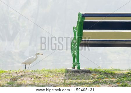 Indian pond heron or paddybird (Ardeola grayii) a small heron walking past a lake and a chair with fog in background. Stock image shot at Kolkata Calcutta West Bengal India