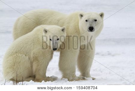 Polar bear sow with her cub on the frozen tundra of Churchill, Manitoba, Canada.