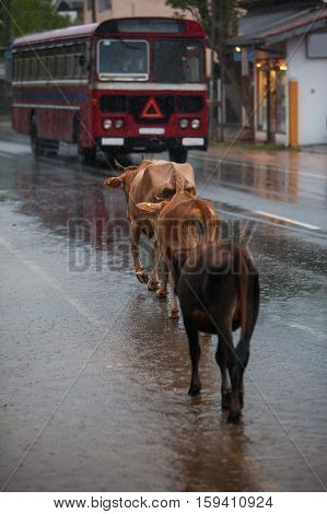 Cows on the city road on the raining day in Hikkaduwa Sri Lanka