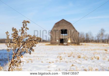 Focus on a brown fluffy weed in a snow covered field in front of a blurred old abandoned barn in rural winter landscape