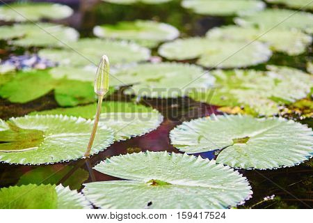 Flower Buf Of Water Lily
