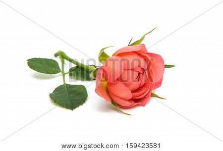 beautiful rosette i flower solated on white background