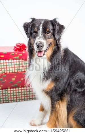 Australian Shpherd dog sits by a pile of Christmas gifts i a white studio portrait.