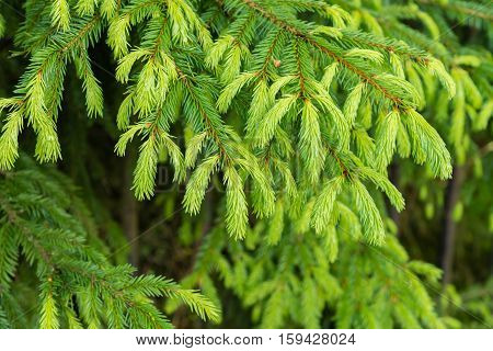 natural background with a bright fir branches