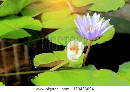 beautiful Lotus flower in pond background. his beautiful waterlily or lotus flower is complimented by the rich colors of the deep blue water surface.