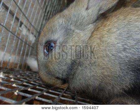 Close Up Gray Brown Bunny