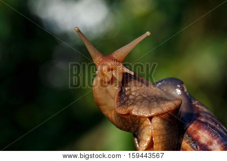 the Achatina snail on a green background