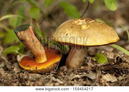 Red-pored Boletus (Boletus subvelutipes) on dry leaf
