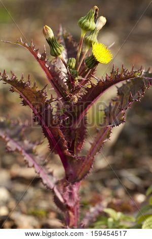 red prickly flower (Sonchus asper) on sandy terrain poster