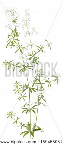 white inflorescence (Galium mollugo) on white background