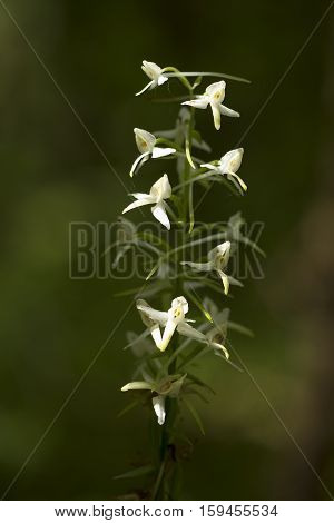 single inflorescence (Platanthera bifolia) on blurred background
