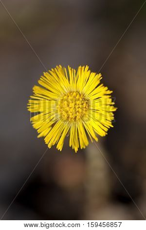 single yellow coltsfoot (Tussilago farfara) as background