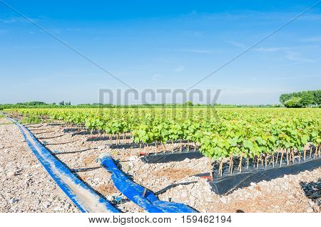 Field of rooted grafts of vine and the irrigation system buried tube