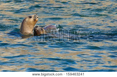 Two South American Sea Lions In The Water