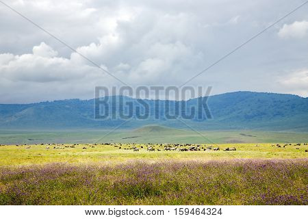 Large herds of wild animals grazing in the valley  Ngorongoro Crater Conservation Area, Tanzania. East Africa