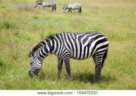 Zebra grazing on lush meadows in Ngorongoro Crater Conservation Area, Tanzania. East Africa