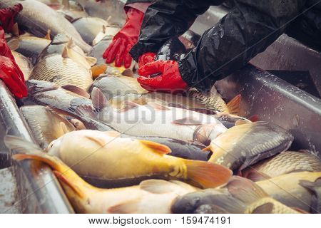 Catch biomass and manual sorting of fish