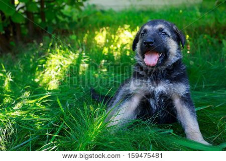 puppy breed German Shepherd on a green grass