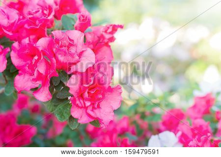 Purple Spring Flowers Azalea