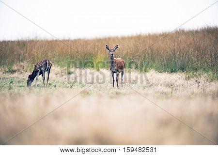 Alert Red Deer Doe Standing In Field. National Park Hoge Veluwe. The Netherlands.